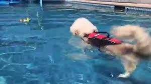 bichon frise breeders texas bichon frises swimming u0026 playing in the pool youtube