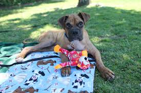 boxer dog 2015 articles west coast boxer rescue seeking forever homes for