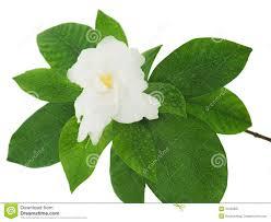 bud gardenia flower stock photos download 215 images