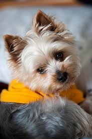 cute boy yorkies yorkshire terrier and yorkshire