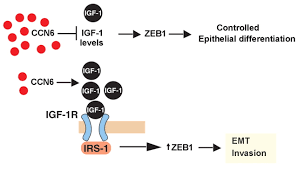 ccn6 wisp3 decreases zeb1 mediated emt and invasion by