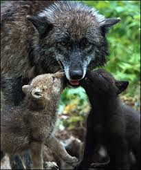 wolf families uk wolf conservation trust