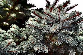 How To Trim A Real Christmas Tree - 10 tree tips and where to cut your own