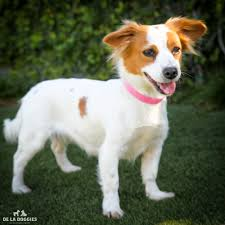 papillon jack russell mix