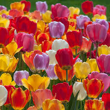 tulip bulbs colorblends wholesale flower bulbs from holland