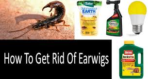 how to get rid of earwigs top 7 earwig control products