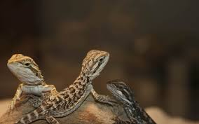 bearded dragon wallpaper animals town