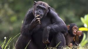 chimpanzee with baby ngsversion 1412621761167 adapt 1900 1 jpg