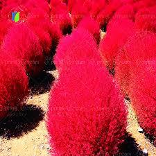 grass seeds perennial 300pcs grass burning bush kochia scoparia