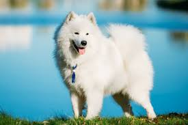 standard american eskimo dog vs samoyed 8 interesting facts about the samoyed dog breed american kennel club