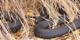 Serum Ular racun ular jadi serum pembasmi keriput merdeka