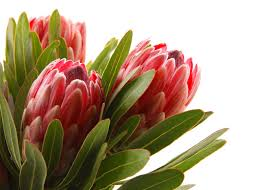 Protea Flower South Africa - protea flower meaning flower meaning
