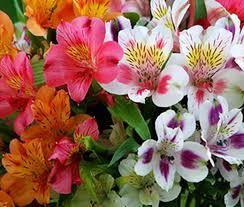alstroemeria flower peruvian dr salter s mix alstroemeria ligtu seeds