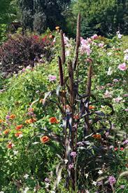 ornamental millet pennisetum glaucum master gardener program
