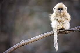 daily wallpaper snub nosed monkey i like waste my time