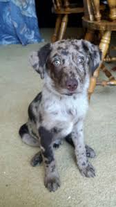 australian shepherd spaniel mix best 25 australian shepherd lab mix ideas only on pinterest