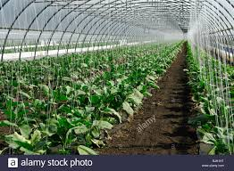 greenhouse for vegetable garden cultivation of eggplants in a greenhouse vegetable growing area