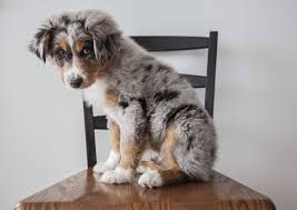 an australian shepherd lifespan look at this baby i want him too cute puppiezzz pinterest