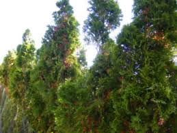 cedar trees buy garden patio items for your home in