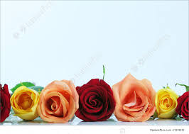 picture of color roses