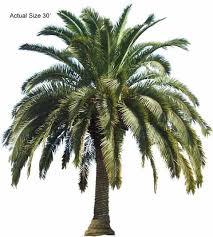 canary island date palm pineapple palm date palm canariensis