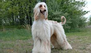 afghan hound snood afghan hound breed information
