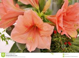 Amaryllis Flowers Salmon Pink Amaryllis Flowers In A Greenhouse Royalty Free Stock