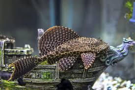 types of aquarium types of aquarium catfish