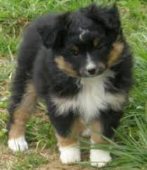 a toy australian shepherd females at justa little aussie toy aussie mini minature australian