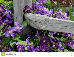 beautiful image of colorful clematis climbing on wood fence stock