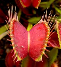 file venus flytrap showing trigger hairs jpg wikimedia commons