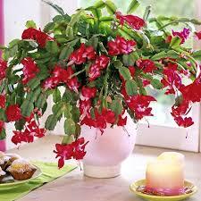 Christmas Plants 204 Best Christmas Cactus Images On Pinterest Christmas Cactus