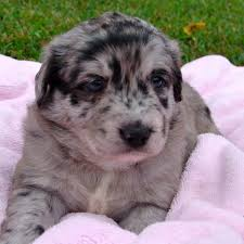 australian shepherd rescue nc adopt gracie u0027s puppies home facebook