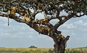 lions sleep 20ft up as a tree to find shade in serengeti national