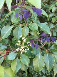 florida keys native plants florida native plant society blog wednesday u0027s wildflower common