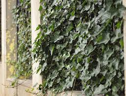 Living Trellis Discussion Green Facade Or Living Wall Trellis Works