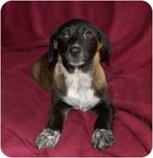 buy a bluetick coonhound puppy sasha adopted puppy chula vista ca australian shepherd