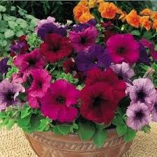 12 Best Annual Flowers For by 12 Best Petunias Images On Pinterest Annual Flowers Flower