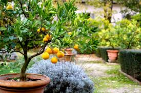lemon tree at rome s villa borghese falling bicycles