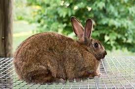 meat rabbit history