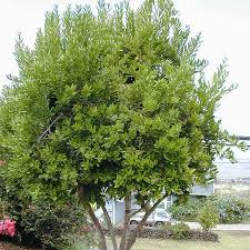 herbs plants for sale fast growing trees