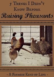 Can I Raise Chickens In My Backyard 5 Things I Didn U0027t Know Before Raising Pheasants Pheasant