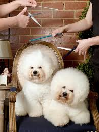bichon frise qld bulla dog grooming competition draws pampered pooches from across