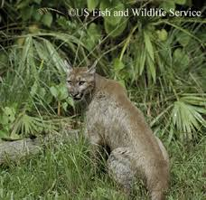 Tennessee wildlife images Tennessee watchable wildlife cougar jpg
