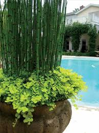 Plant Combination Ideas For Container Gardens - how to grow horsetail reed in containers garden pool deck