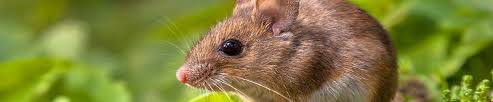 Are Mice Blind How To Deter Mice And Rats From Your Home Ketchup The Essential