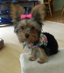 chorkie haircut styles my new little chorkie baby belle dog clothes pinterest