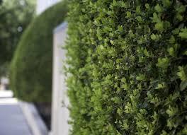 backyard privacy 10 best plants to grow bob vila