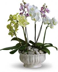 orchid plants regal orchids plants wedding floral arrangements