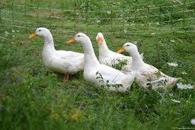 pekin ducks royal ducks breeding hyderabad pekin ducks poultry